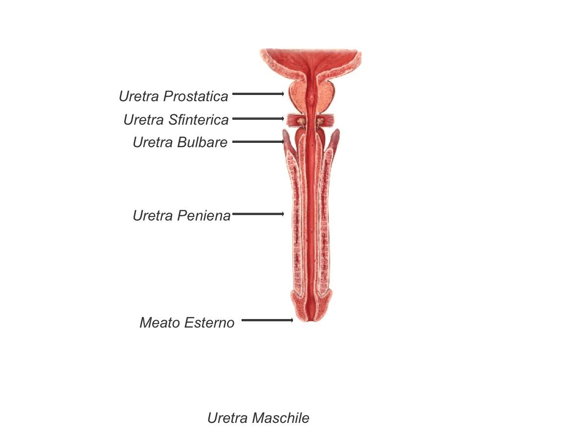 Prostata - Urologia ULSS 16